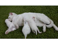 White kittens - female