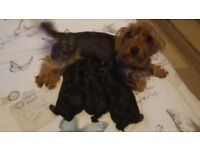 Yorkshire terriers ( yorkies ) puppies for sale ; 2 boys and 1 girl