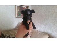 Chorkie puppy