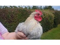 Pekin Lavender Cockerel