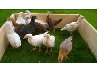 Mixed Leghorn & Hybrid Pure Bred Chicks