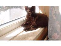 3ten week old kittens for sale 2tabbys @ 1 black one ,,2boys 1girl .
