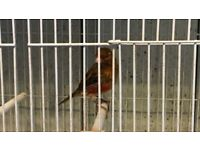 Intensive Red Male Canary For Sale