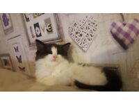 Beautiful ragdoll cross kitten