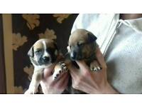 Pups sale not ready till 17 april