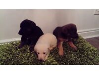 Puppies ready 10th december