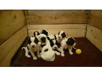Stunning litter of English Springer spaniels