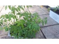 tomatoes plants