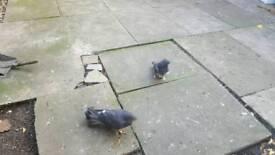 Kurdish pigeon for sale