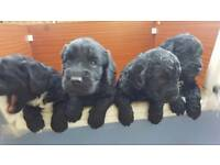 Cockerpoos for sale