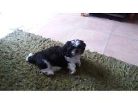 shih tzu puppy black & white