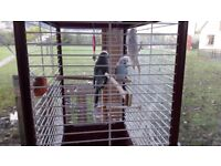 3 budgies and cage for sale
