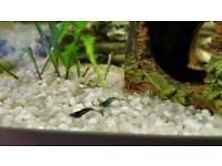 10 blue cherry shrimp