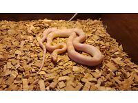 Beautiful snow corn snake and large vivarium full set up