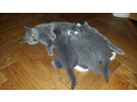 Cats for sale in Somerset - Gumtree