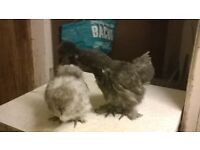 chickens for sale, chicks and point of lay