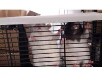 Pair of healthy rats lookig for a new home