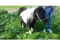 Shetland mare.