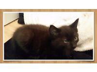 Last cute boy kitten ready now