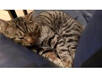 Missing tabby cat Mylo !!!