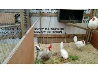 Cream legbar x leghorn hen/chicken