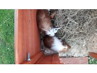 2 Baby Boy Guinea Pigs