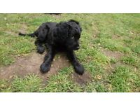 F2 Cockapoo Puppy - AVAILABLE NOW