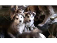 4 Alaskan malamute kc reg pups for sale