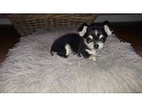 Small black tri smooth coat chihuahua