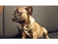 French bulldog boy for sale