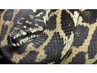 CB2011 Female 75% Jungle Jag Sibling Carpet Python