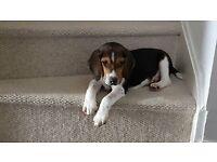 12 Week old Beagle puppy for sale KC registered