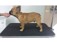 Tan Fawn French Bulldog for sale - 6 months old