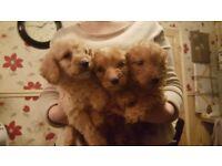F1b Miniature Labradoodle Pups