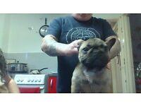 female french bulldog pup