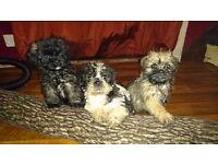 Stunning Pugapoo x puganese puppies