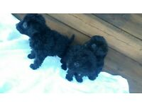 3 lovely jackapoo puppy for sale