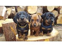 IKC REG SMOOTH HAIRED MINIATURE DACHSHUNDS