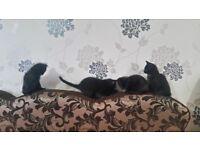 Russian x Ragdoll Kittens