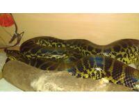 Female yellow anaconda