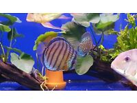 4x wild discus 6-7 inch very nice fish tap water