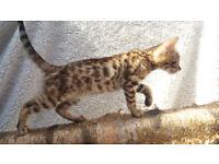 F4 Bengal male kittens