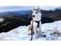 Female Husky pup