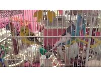 Two young budgies with cage