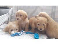 Beautiful liter of 4 golden cockapoo puppies ready to leave on the 10.07.17