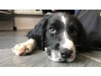 Pedigree English Springer Spaniel Puppies - KC Registered - Excellent Pedigree