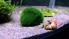 ASSASSIN SNAILS- SNAIL EATING SNAILS