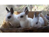 Netherland dwarf cross baby bunnies