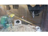 Young male Degu for sale, Including cage and toys