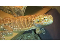 Red Male Bearded Dragon & 4ft setup for sale...Bangor
